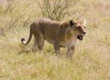 steve-t-lioness_